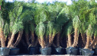 Jax Palm Trees has extensive Inventory in Jacksonville, Florida.