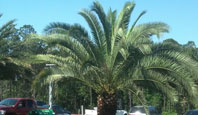 Jax Palm Trees has trees for all your needs in the Jacksonville, Florida area.