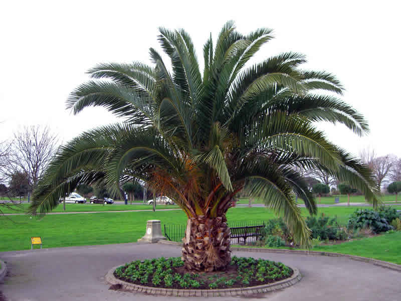 Jax Palm Trees has extensive Inventory including Canary Date Palms in Jacksonville, Florida.