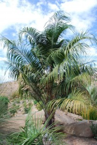 Jax Palm Trees has extensive Inventory including Mule Palms in Jacksonville, Florida.