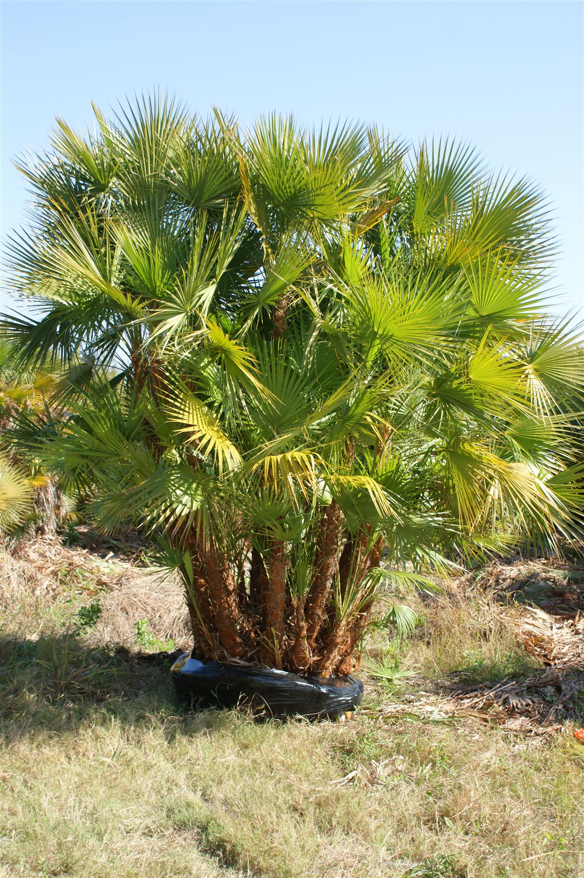 Jax Palm Trees has extensive Inventory including Paurotis in Jacksonville, Florida.