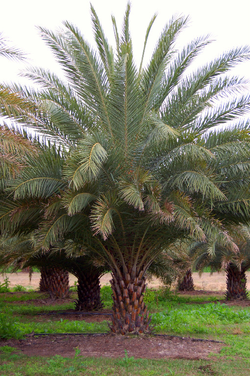 Jax Palm Trees - Phoenix Sylvestris or the Wild Date Palm.