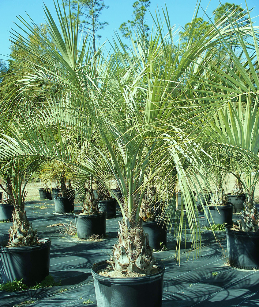 Jax Palm Trees has extensive Inventory including Pindo Palms in Jacksonville, Florida.
