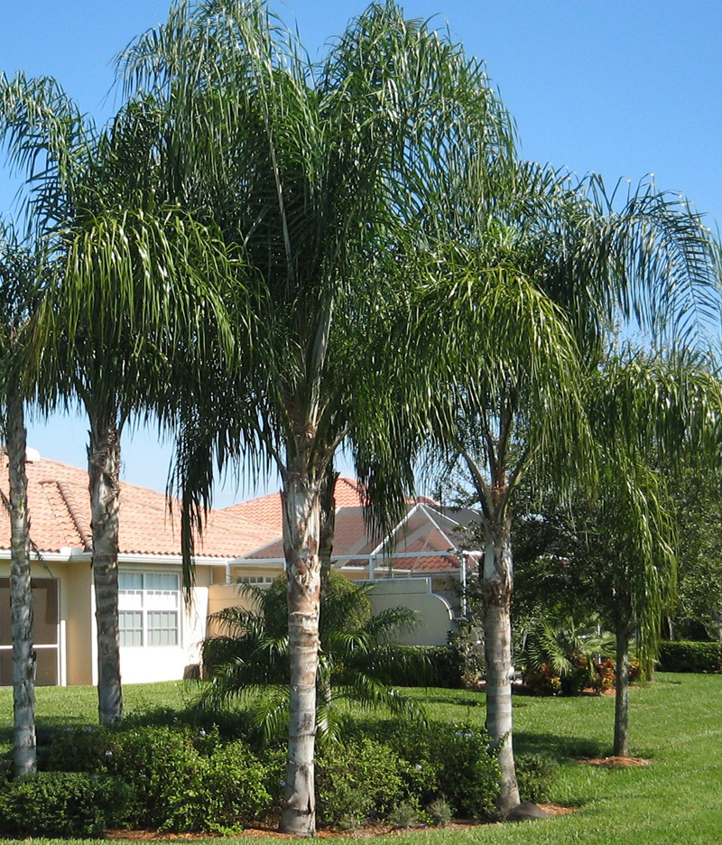Jax Palm Trees has extensive Inventory including Queen Palms in Jacksonville, Florida.