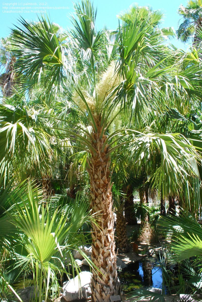 Jax Palm Trees has extensive Inventory including Sabal Palms in Jacksonville, Florida.