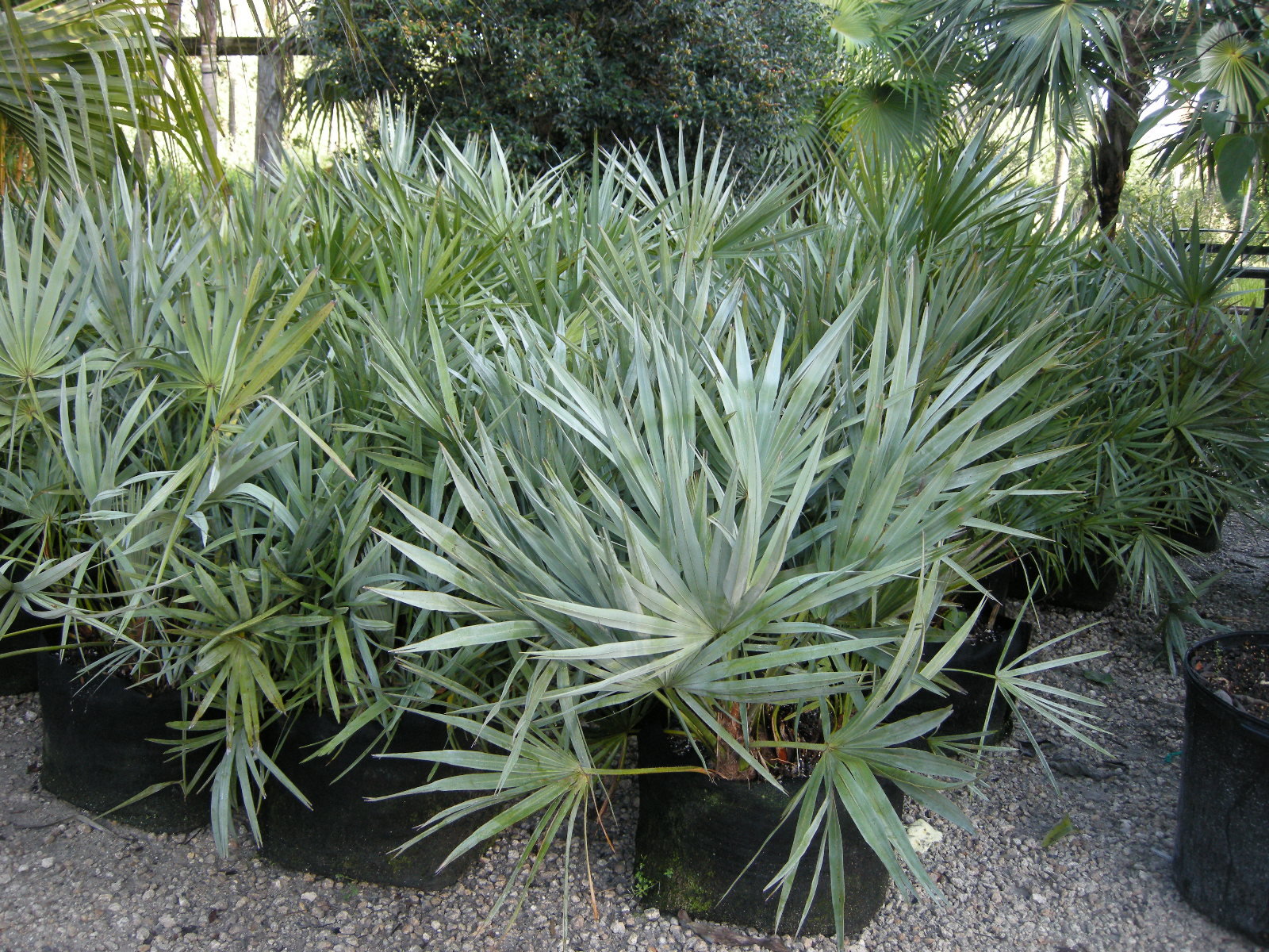 Jax Palm Trees has extensive Inventory including Palmettos in Jacksonville, Florida.