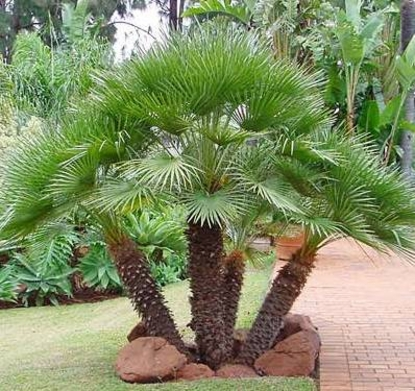 Jax Palm Trees has extensive Inventory including European Fan Palms in Jacksonville, Florida.