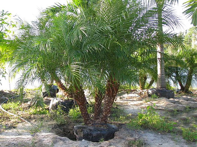 Jax Palm Trees has extensive Inventory including Pygmy Date Palms in Jacksonville, Florida.