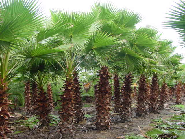 Jax Palm Trees has extensive Inventory including Washingtonia Palms in Jacksonville, Florida.