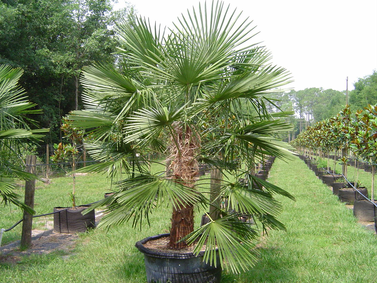 Jax Palm Trees has extensive Inventory including Windmill Palms in Jacksonville, Florida.