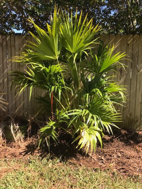 JaxPalmTrees-ChineseFanPalm-Installed-JacksonvilleFlorida