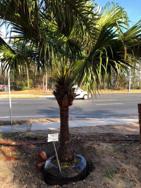 JaxPalmTrees-ChineseFanPalm-JacksonvilleFlorida